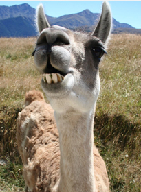 Laughing alpaca