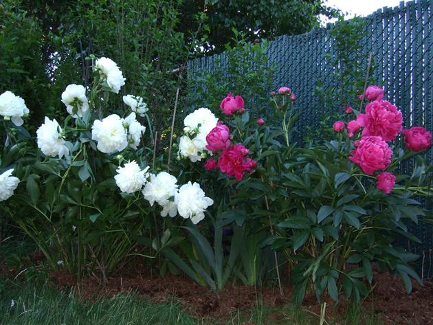 Peonies with stakes