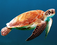 Microplastics in Every Sea Turtle